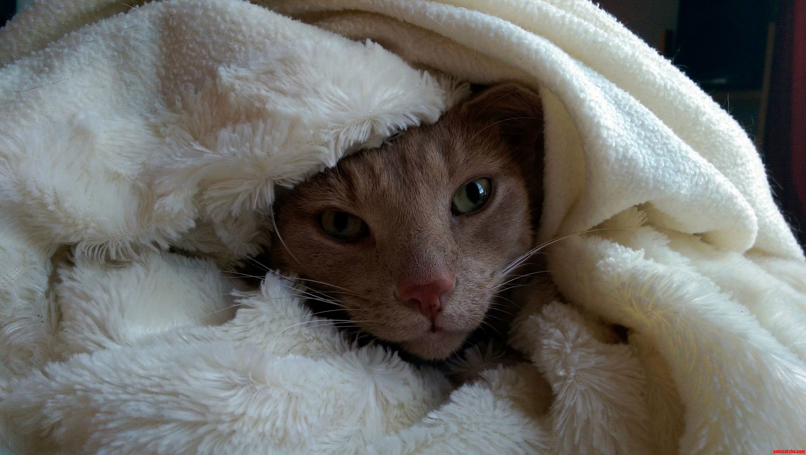 cute cat wrapped in blanket