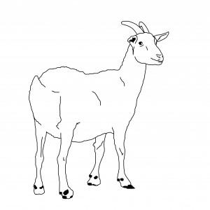 Goat Illustration