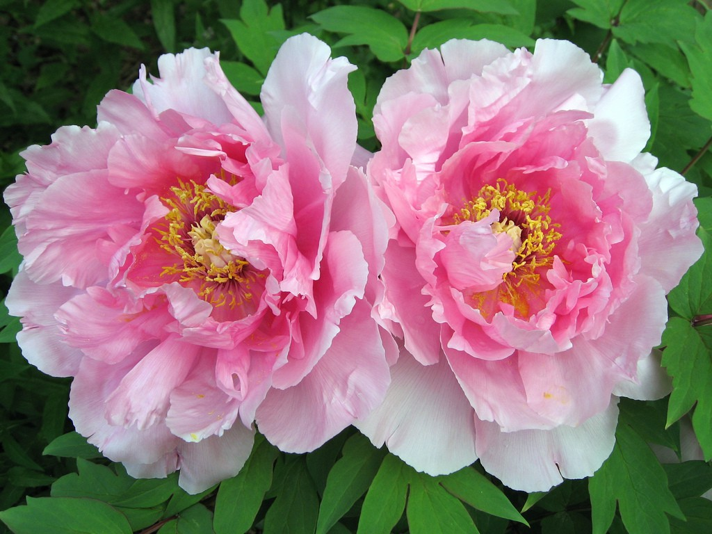 Peony pink flower the RHS Chelsea flower show 2016