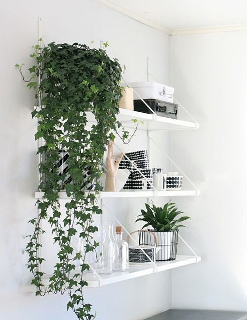 dark green english ivy indoor plants hanging off a white shelf against a white wall