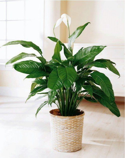 peace lily indoor plants in a beige plant pot