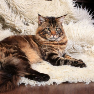 pet-friendly cat lay on a shaggy rug