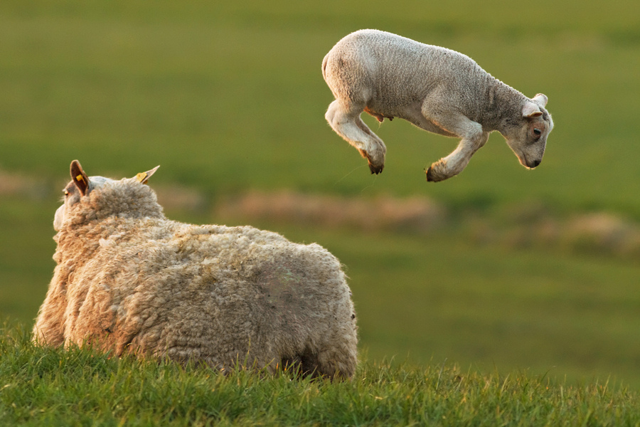 spring lamb jumping over a sheep part 2